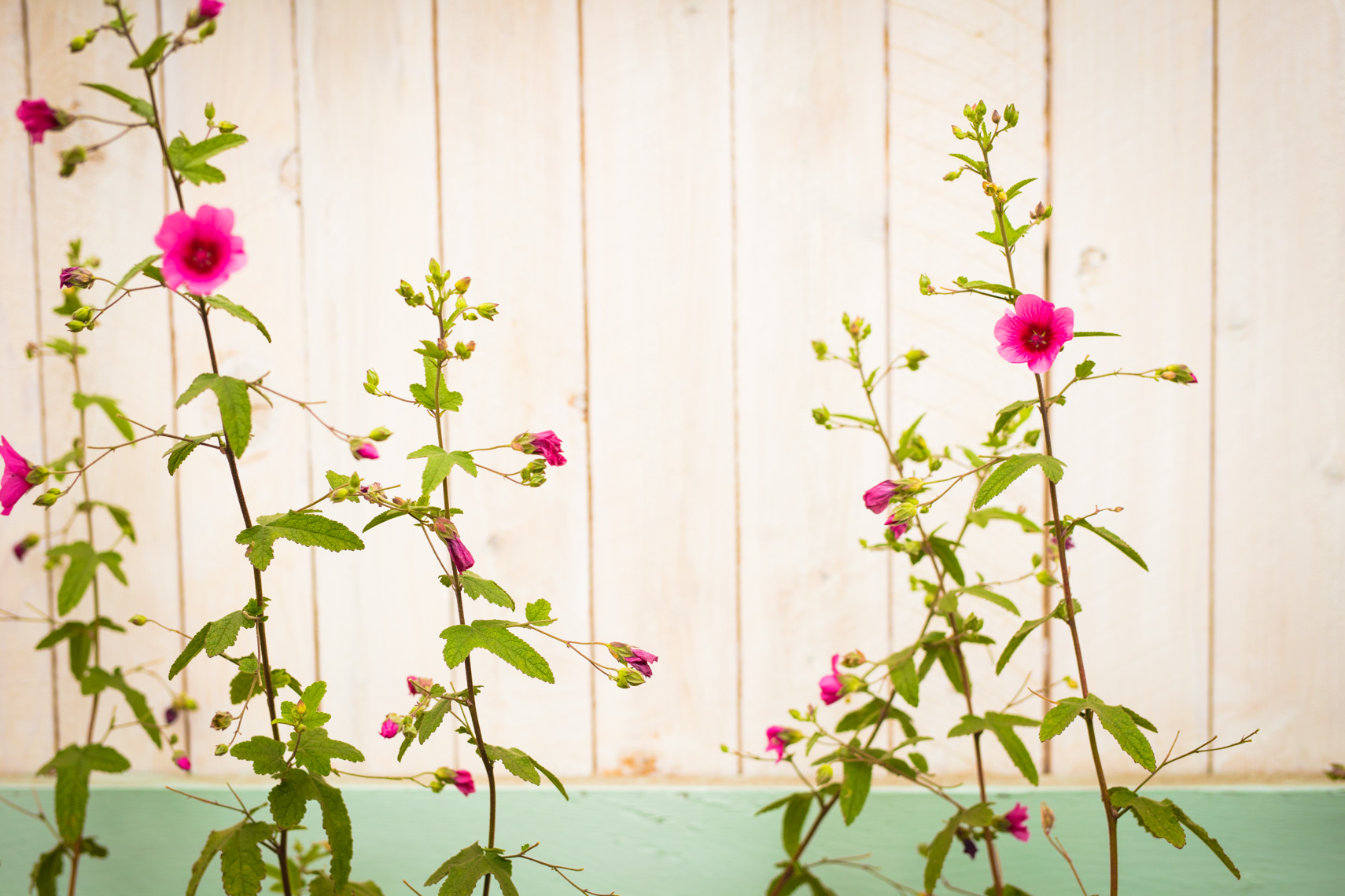 Pink flowers against whimsical fence | Editorial Photographer