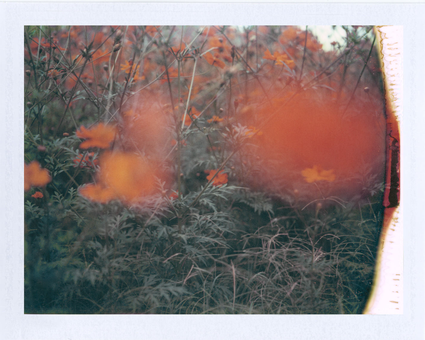Orange Texas wildflowers | Polaroid Photographers