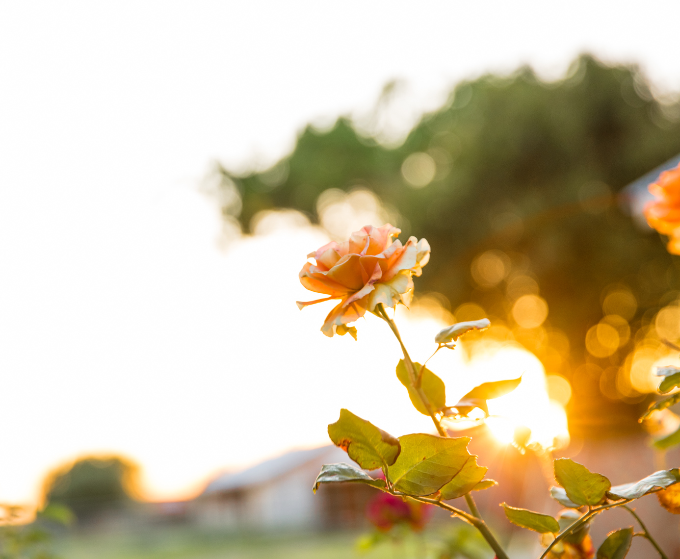 Sunset orange rose |  Editorial Travel Photographer