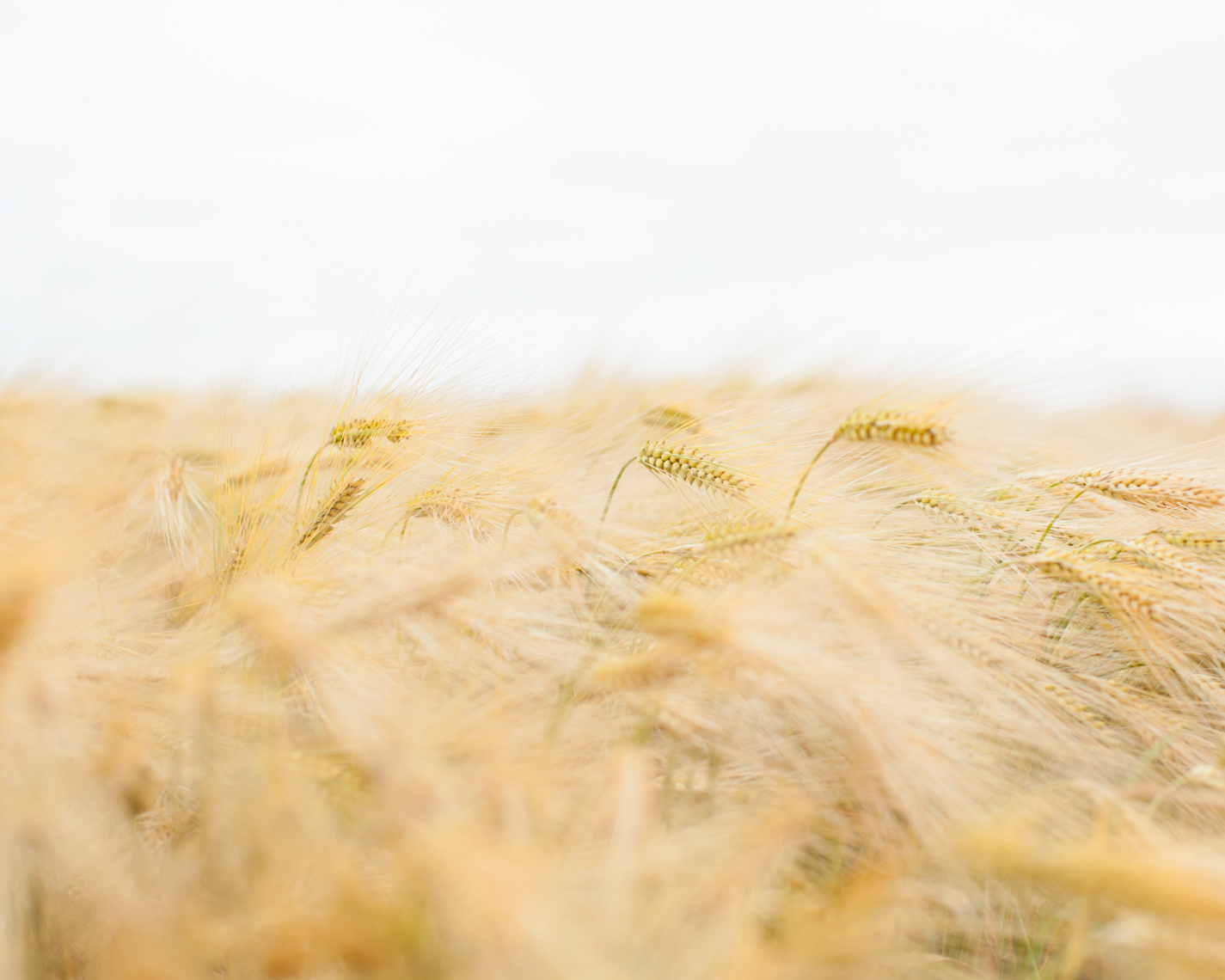 Landscape of wheat field | Tosca Radigonda Photography