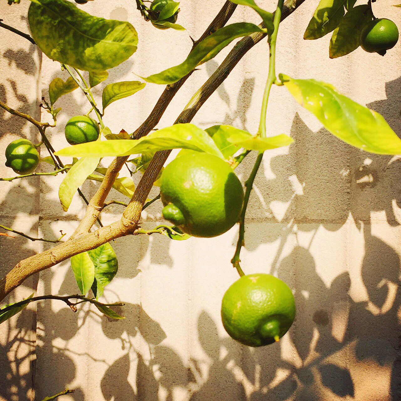 Image of Limes | Tosca Radigonda Photography